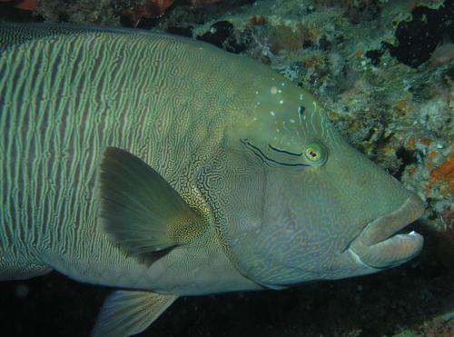 A Napolean wrasse in the overhang at Kuda Rah Thila