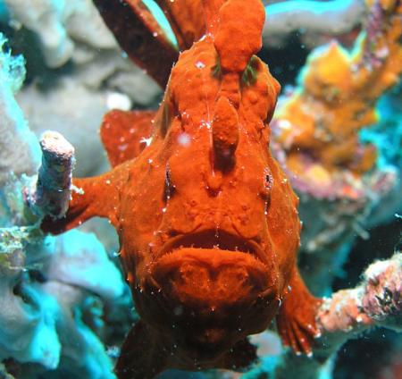 A red frogfish at Enderlhi Thila